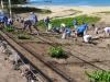 dune planting Kamaole II 007re.jpg