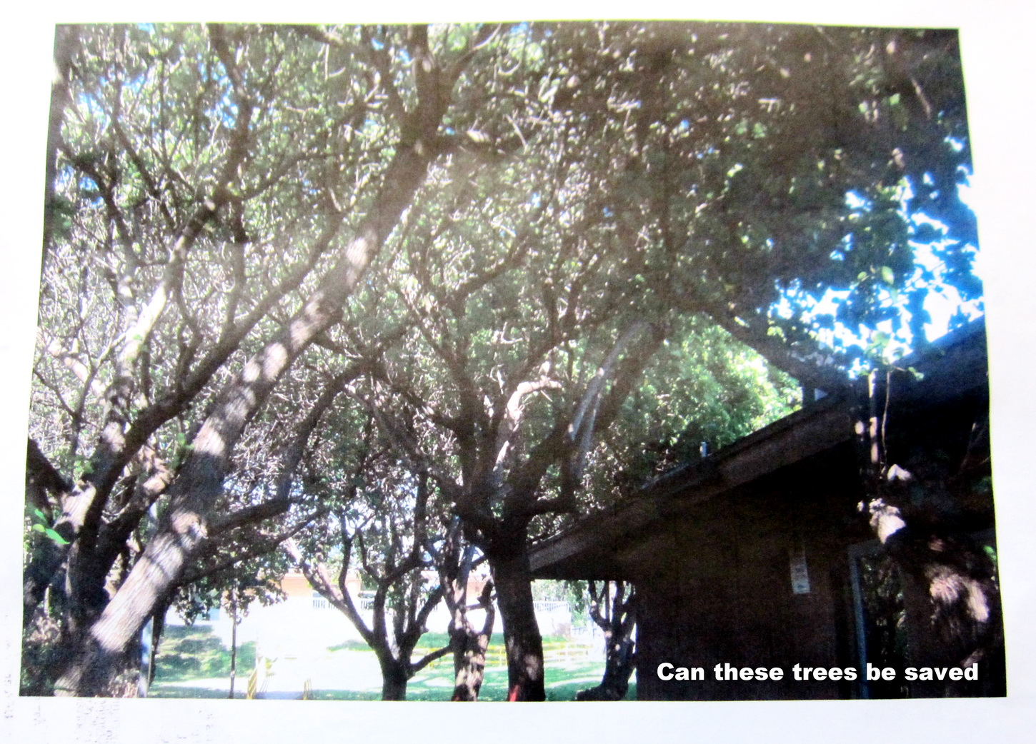 Are all those trees at Community Center to be chopped? Let's check before removing