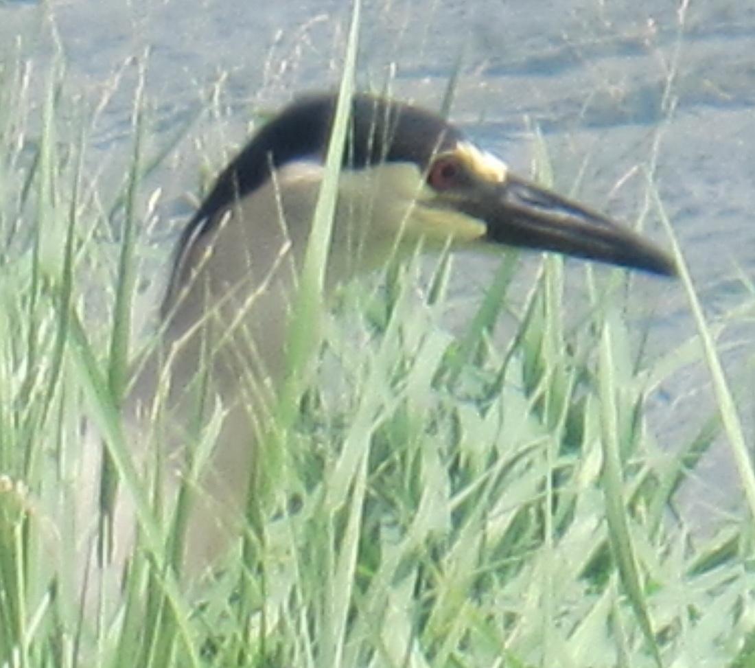 Fowl at La'ie Wetland Restoration Project